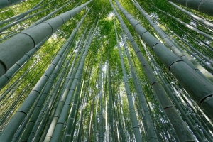 dynamic view of arashiyama bamboo forest, Kyoto, Japan